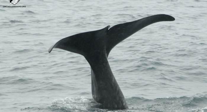 big sperm whale tail