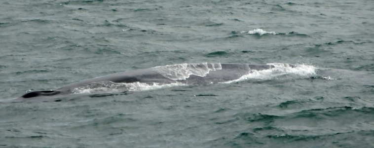 The largest animal in the world off Snæfellsnes