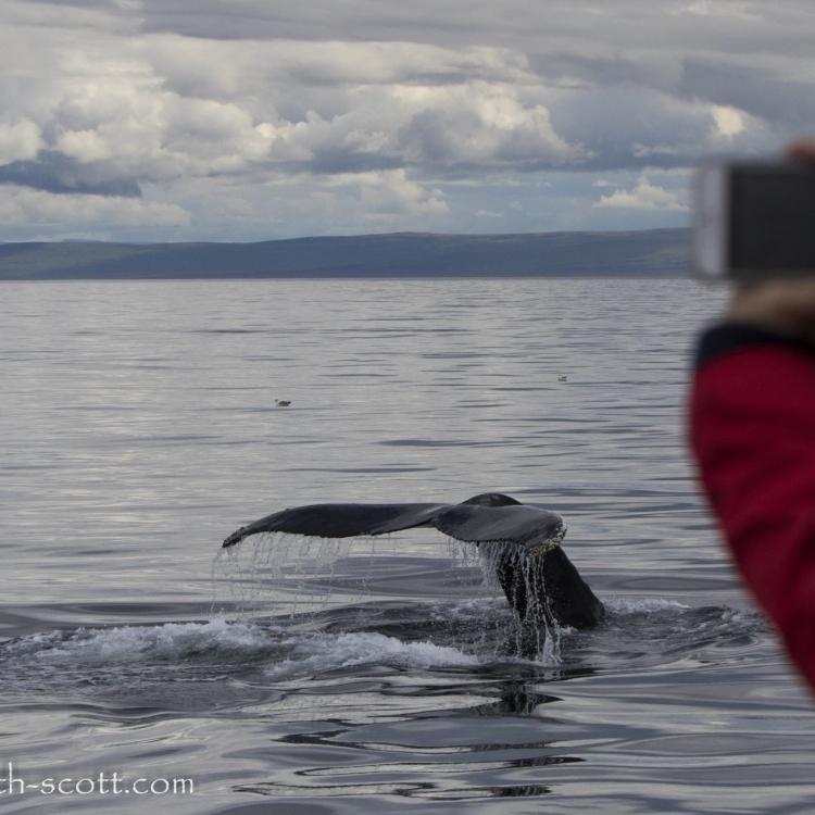 close humpback fluke, humpback whale tail, whale watching, Holmavik, Westfjords, Iceland, Laki Tours