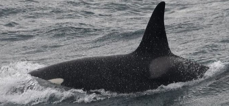 Orca Watching Snaefellsnes March 31, 2019
