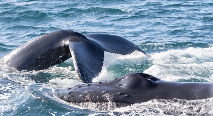 iceland whale watching autumn