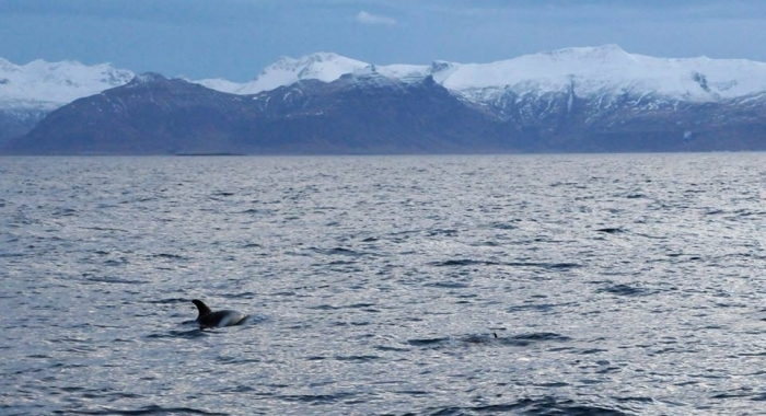 iceland whale watching december