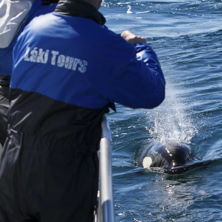 orca with passengers, Laki Tours, orcas, killer whales, West Iceland, Snaefellsnes, Olafsvik, whale watching