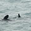orcas socialising
