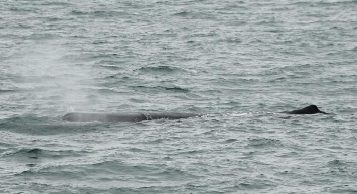sperm whale body