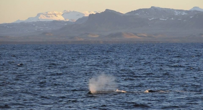 whale watching iceland december