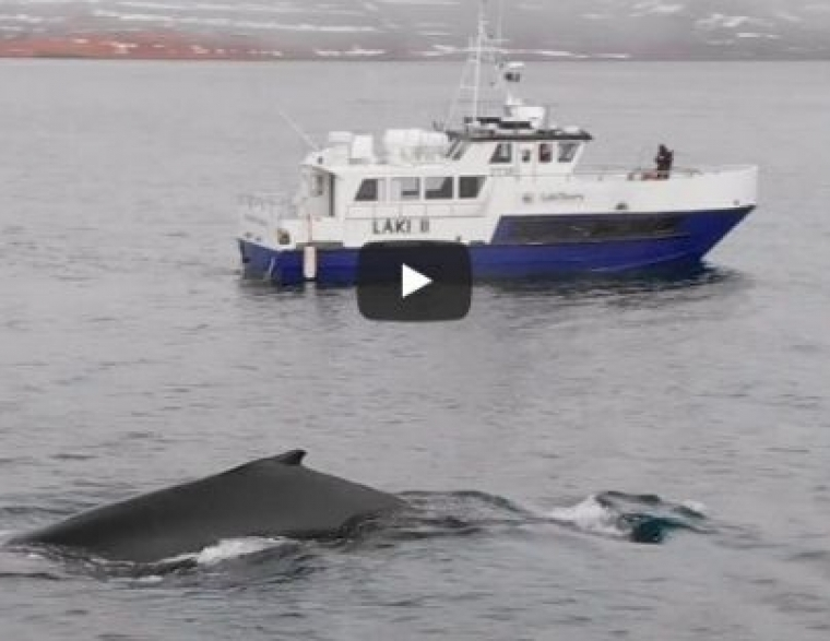 Video – Wale beobachten Westfjorde – Buckelwale Island