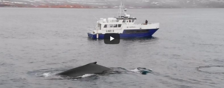 Video: Whale Watching in the Westfjords – A Unique Encounter in November