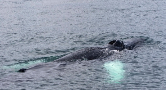 whale-watching-westfjords-september