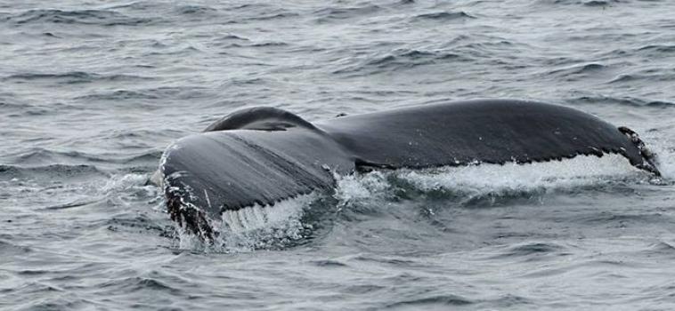 Humpback Whale in Breidafjördur on February 20, 2019