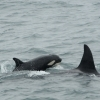 young orca